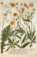 Hieracium Apulum flore suave-rubente. Hieracium barbatum medio nigrum. Hieracium Boeticum medio luteum. Hieracium Echioides capitulis cardui benedicti. Hieracium fruticosum. Hieracium Dentis Leonis. N. 573
