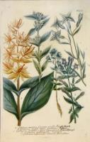 Gentiana cruciata, Gentiane croissée. Genziana major lutea, Genziane. Genziana pratensis flore lanuginoso. Genziana autumnalis ramosa. Genziana autumnalis ramosa flore pleno. N. 534.