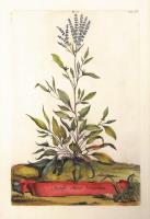 Acetosa Minor Lanceolata