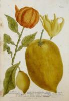 Malus aurantia hermaphrodita fructu medio citro, medioque aurantia. Malus aurantia fructu mediocri, citron. Malus citria corniculata. Malus citria fructu magno, Citronat. N. 701.