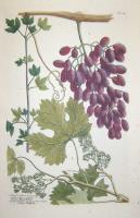 Vitis Corinthiaca seu uvae passae minores, Raisins de Corinthe-Vitis vitifera seu uva passa maior, Raisins.