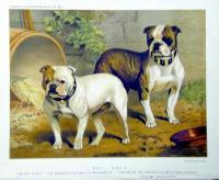 Bull dogs.