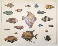 Tavola XXVI: Pesci corallini.