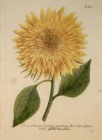 Chrysantemum Indicum Florem et semine maximum