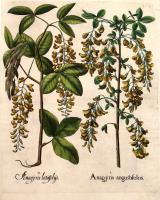 Anagyris latifoliys – Anagyris angustifoliis.