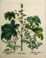 Malva Crispa – Marubium criticum angustifolium – Pseudodictamus veatillatis.