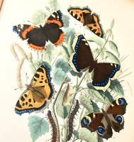 Les papillons. Organisation-Mœurs-Chasse-Collections-Classification. Iconographie et histoire naturelle des papillons d'Europe.