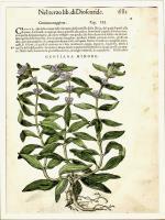 Gentiana Minore