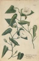 Convolvulus major lactescens flore albo, liseret; Convolvulus major non lactescens. N. 413.