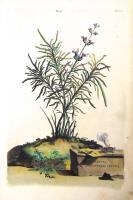 Salvia angustifolia cretica