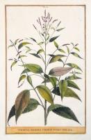 Verbena maxima urticae folio spicata