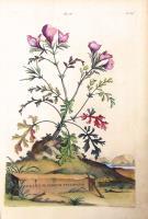 Geranium indicum tenuifolium