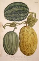 Melo viridis striatus et maculosus. Melo pepo croceus, melone. Melo pepo cortice oscure virescente. N. 723.
