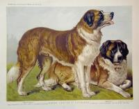 Rough coated St. Bernards.