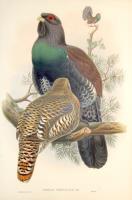 Tetrao urogallus (Gallo Cedrone).