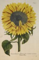 Chrysanthemum Indicum Florem et semine maximum.