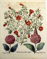 Malus Punica flore simplici- Plantago Rosea- Plantago Rosea Spicala