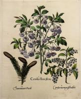 Cerasus flore pleno – Summitates piccae  Cerasus racemosa Sylvestris.