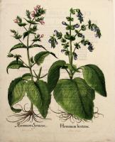 Horminum Siriacum - Horminum Hortensecolore