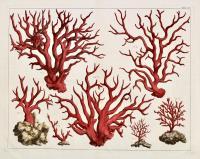 Tavola CXV: Corallium Rubrum