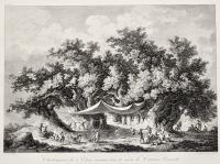 Chataignier de l'Etna connu sons le nom de Centum Cavalli