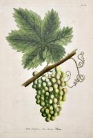Vitis vinifera, Vin Blanc, Wein