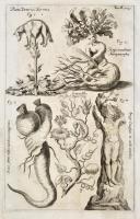 Planta Tartarica Boromez –Rapa monstrosa Antropomorpha -  Granadilla sive flos Passionis – Dauci sativi rudix monstrosa manuformis...